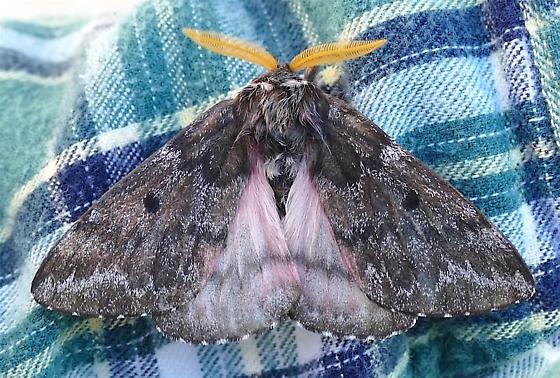 Pandora Moth - Coloradia pandora - male