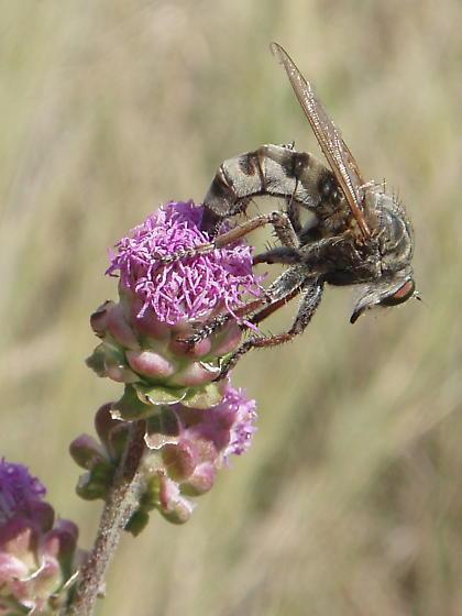 Bearded Robberfly - large on liatris - Promachus vertebratus