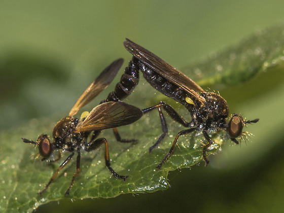 Robber Flies - Eudioctria sackeni - male - female