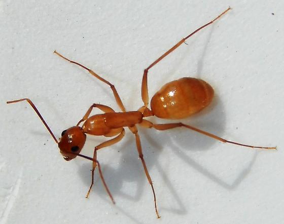 Ant - Camponotus festinatus