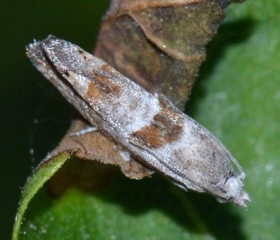 Moth, Eucosmini? - Eucosma apacheana