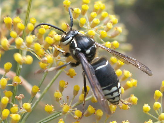 Looks like Bald Faced Hornet but! - Dolichovespula maculata - male