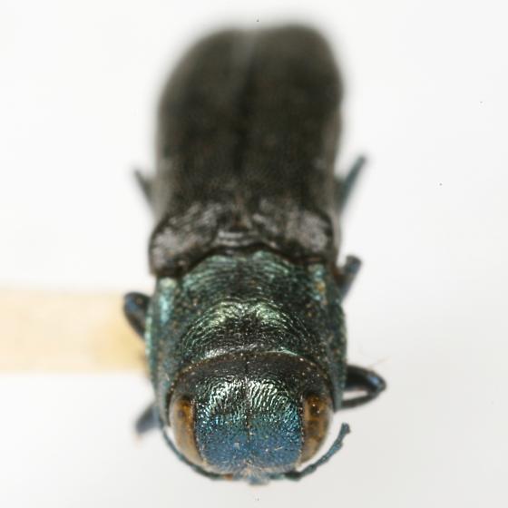 Agrilus albocomus Fisher - Agrilus albocomus
