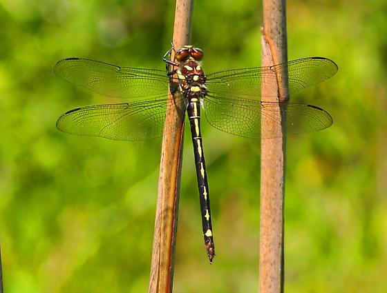 Spiketail dragonfly - Cordulegaster obliqua - female