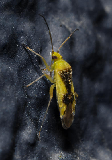 Reuteroscopus - Reuteroscopus ornatus