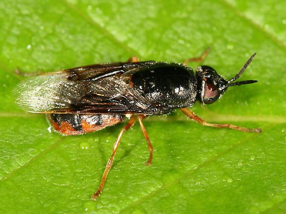 Soldier Fly - Odontomyia profuscata - female