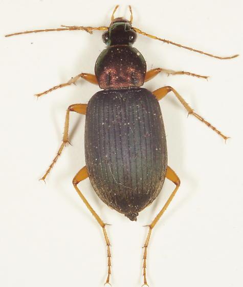 Chlaenius sp.? - Chlaenius tricolor - female