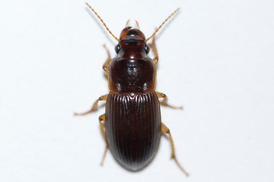 Harpalus  - Harpalus somnulentus - female