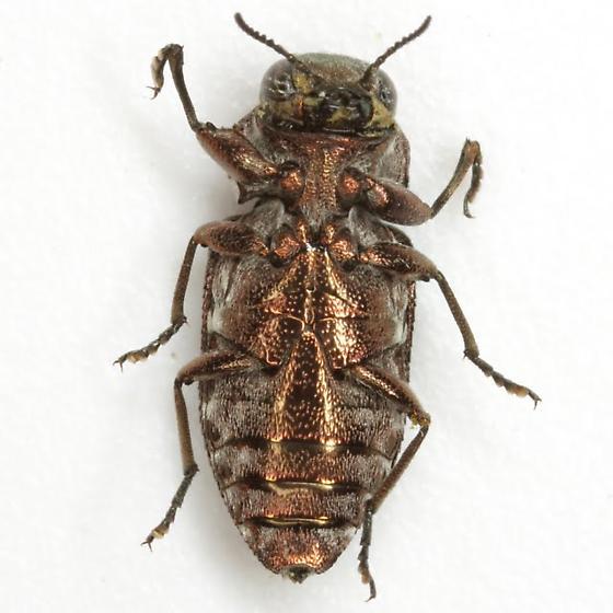 ch-both - Chrysobothris ignicollis
