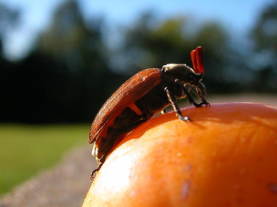 Cedar beetle? - Sandalus