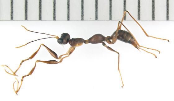 Dryinidae, lateral - Gonatopus - female