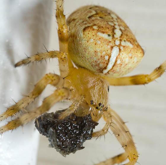 Araneus diadematus ? - Araneus diadematus - female