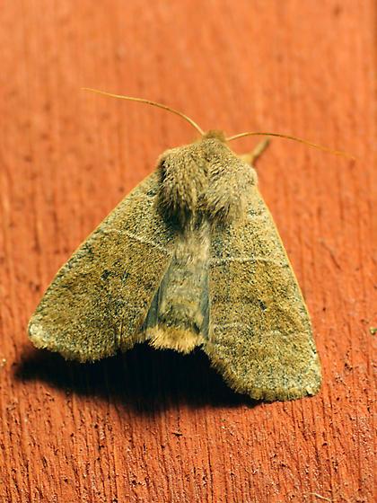 Eupsilia morrisoni - Morrison's sallow - can someone confirm this identification? - Eupsilia morrisoni