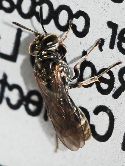 Blackish bee - Pison - female