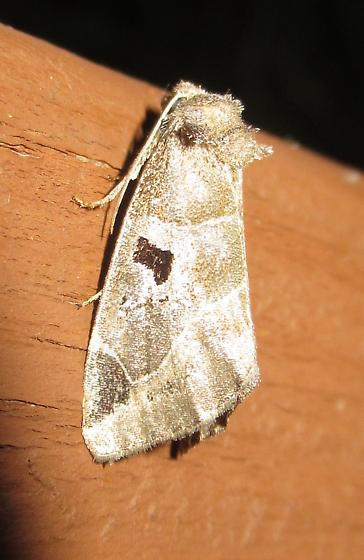 Plagiomimicus pityochromus - Black-barred Brown - Plagiomimicus pityochromus
