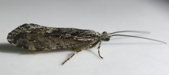 Agrypnia vestita - female