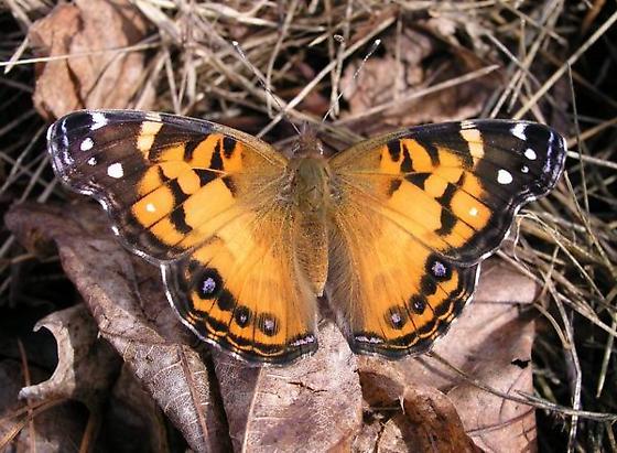 American Lady butterfly - Vanessa virginiensis