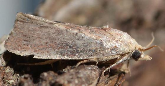 Galleria mellonella – Greater Wax Moth - Galleria mellonella