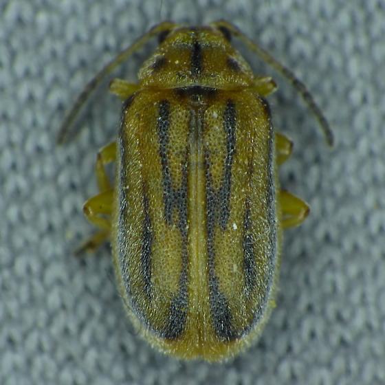 Leaf Beetle - Ophraella communa