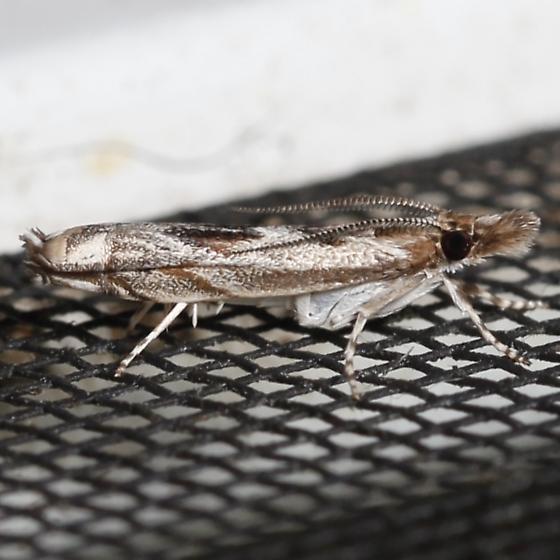 Prionapteryx achatina