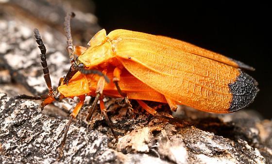 Lycus fernandezi? - Lycus fernandezi - male - female