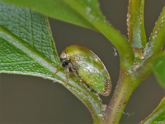 Smiliinae
