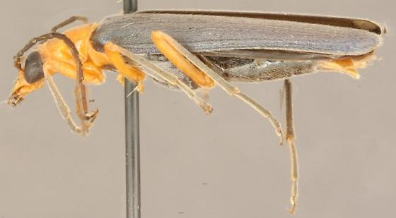 Xanthochroa californica Horn - Xanthochroa californica
