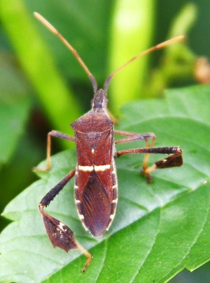 auburn leaf bug orange antennae - Leptoglossus phyllopus