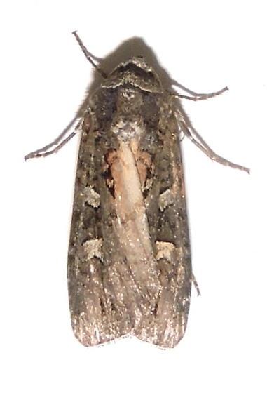 Actebia fennica  - Actebia fennica