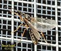 Winged Ant - Formica