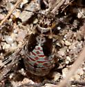 Bug nymph1 - Melacoryphus