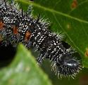 Caterpillars and More Caterpillars! - Nymphalis antiopa