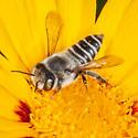Megachile parallela? - Megachile parallela - female