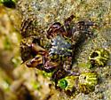 Mottled Shore Crab - Pachygrapsus transversus