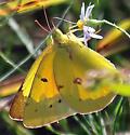 Little Yellow, or Orange Sulphur?   - Colias eurytheme - male
