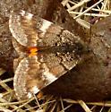 Moth? - Archiearis infans