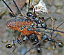Ants (with harvestman prey) - Aphaenogaster picea