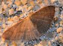 Common Tan Wave - Pleuroprucha insulsaria