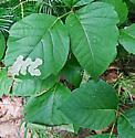 GRACILLARIIDAE Lithocolletinae: 0822 Cameraria guttifinitella - New Brunswick - Cameraria guttifinitella