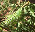 Caterpillar on sweet acacia tree - Syssphinx