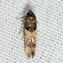 moth - Walshia