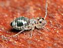 Psocid nymph - Metylophorus purus