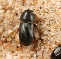 Ataenius sp. [ID coming] - Ataenius carinator