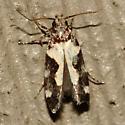 Red-necked Peanutworm Moth - Hodges #2209 - Stegasta bosqueella