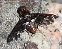 Bee fly - Exoprosopa caliptera