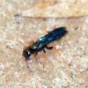 Twitchy blue-black wasp - Podium luctuosum