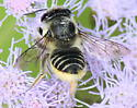 leafcutter bee? - Megachile brevis - female