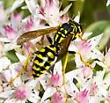 Hornet/Wasp? - Polistes dominula