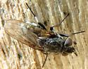 white-shinned fly - Pollenia