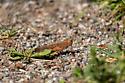 Grasshopper, Montreal - Dissosteira carolina - male